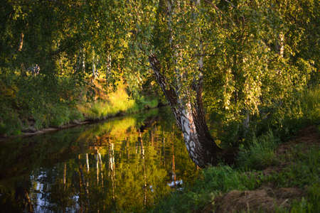 A view of a small forest river, green birch trees close-up. Warm evening light. Mersrags, Latvia