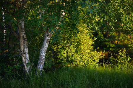 Birch tree in a green summer forest, close-up. Warm evening light. Mersrags, Latvia
