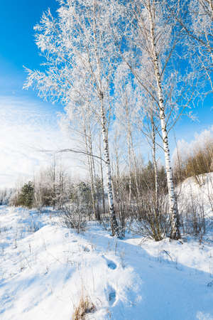 Young frosty birch trees on a sunny winter day after a blizzard. Falling snowflakes. Snow-covered hills in the old city park. Ulbroka, Latvia. Environmental conservation, recreation theme