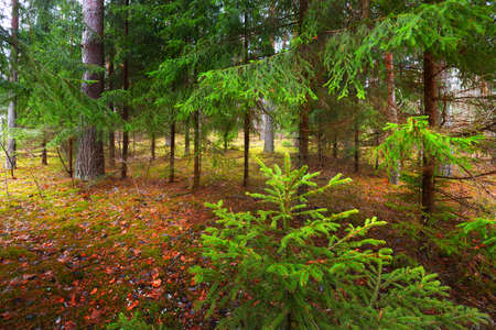 Pathway through mysterious mixed coniferous forest. Evergreen pine, spruce, fir trees, logs close-up. Golden autumn leaves. Nature, seasons, winter, ecology, environmental conservation in Germany
