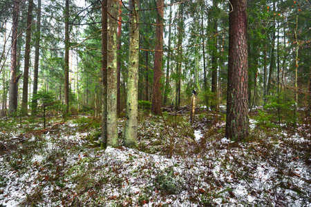 Pathway through snow-covered mysterious evergreen forest. Pine, spruce, fir trees, logs close-up. Nature, seasons, winter, ecology, environmental conservation in Sweden. Dark atmospheric landscape
