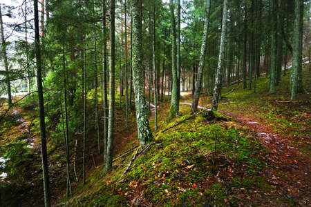 Pathway through mysterious evergreen forest. Pine, spruce, fir trees, logs close-up. Golden autumn leaves. Nature, seasons, ecology, environmental conservation in Sweden. Dark atmospheric landscape