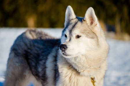 Husky walking in the snow on a clear sunny winter day. Close-up. Lapland, Finland Standard-Bild