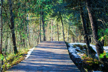 Wooden walkway through the evergreen pine forest on a sunny winter day. Trees shadows. Latvia