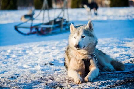 Husky walking and playing in the snow on a clear sunny winter day. Lapland, Finland