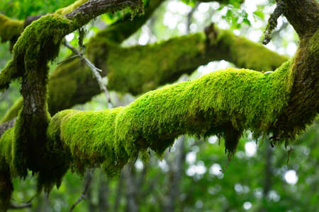 Mossy branch of an ancient sorcerer oak tree, close-up. Emerald green leaves. Epic forest scene. Concept art, fantasy, mythology, fairy tale, environmental conservation theme