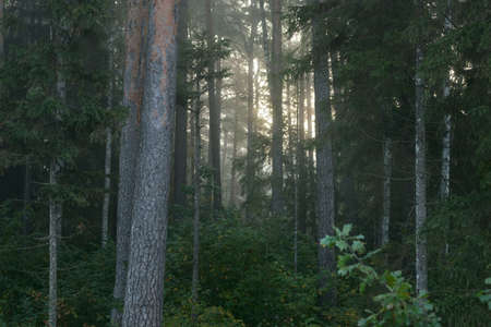 Picturesque scenery of the dark mysterious evergreen forest in a morning fog at sunrise. Pure sunlight, sun rays through the tree trunks. Pine and fir trees close-up. Atmospheric autumn landscape