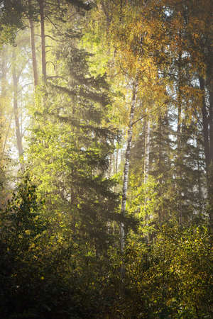 Picturesque scenery of the mixed coniferous forest at sunrise. Fog, haze, sunbeams. Pine, fir and colorful golden birch trees close-up. Mysterious autumn landscape. Fall season, pure nature, ecology