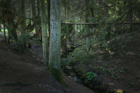 Small river (stream) in the evergreen forest. Ancient pine and deciduous trees, rocks, moss, fern, plants. Natural textures. Dark atmospheric landscape. Pure nature, eco tourism, environment, ecology