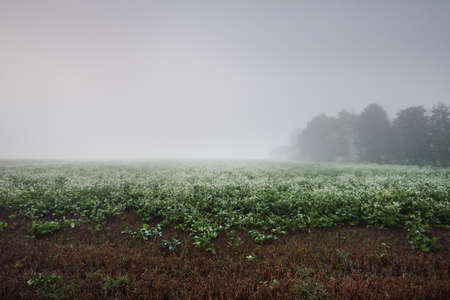 Green field with white blooming wildflowers in a thick white fog at sunrise. Forest, tree silhouettes in the background. Atmospheric landscape. Idyllic rural scene. Fall season, fickle weather