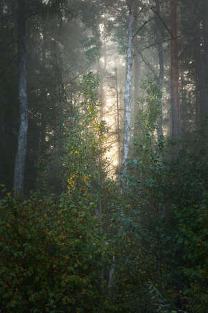 Picturesque scenery of the dark mysterious evergreen forest in a morning fog at sunrise. Sunbeams through the tree trunks. Colorful golden birch, pine, fir trees close-up. Atmospheric autumn landscape