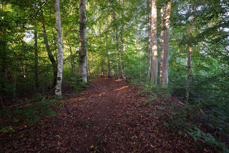 Dark green beech trees, ancient tree trunks close-up, forest floor of colorful dry leaves. Early autumn. Sunlight. Atmospheric landscape. Pure nature, ecology, environmental conservation, eco tourism
