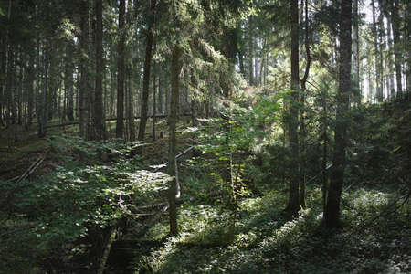 Picturesque scenery of evergreen forest. Ancient pine and deciduous trees, moss, fern, plants. Sunlight. Natural textures. Dark atmospheric landscape. Pure nature, environment, ecology, eco tourism Фото со стока