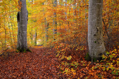 Panoramic view of the hills in a beech tree forest. Mighty tree trunks, yellow, red, orange leaves. Idyllic autumn landscape. Fall season, ecology, nature, environment, ecotourism, recreation. Germany