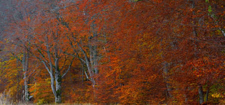 Panoramic close-up view of beech forest. Mighty tree trunks, yellow, red, orange leaves. Idyllic autumn landscape. Ecology, nature, environment. Germany. Pattern, texture, background, concept art