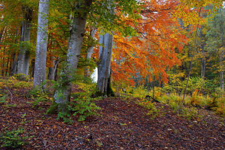 Picturesque scenery of the dark mysterious beech forest. Mighty trees, yellow, red, orange leaves. Atmospheric autumn landscape. Seasons, fall season, ecology, pure nature, ecotourism. Germany