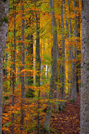 Picturesque scenery of the golden beech tree forest. Mighty tree trunks, colorful yellow, red, orange leaves. Idyllic autumn landscape. Seasons, fall season, ecology, pure nature, ecotourism. Germany
