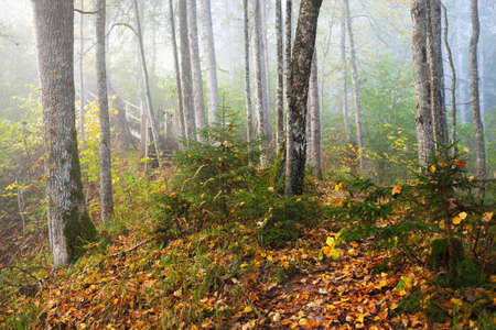Atmospheric landscape of the forest hills in a fog at sunrise. Golden light, sunbeams. Green trees, colorful leaves, moss, fern, plants close-up. Sigulda, Latvia. Ecology, seasons, autumn, eco tourism
