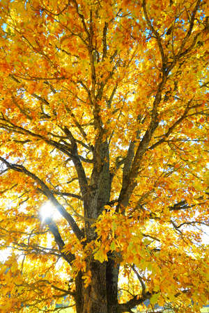 Mighty oak tree with colorful yellow, orange, golden leaves, close-up. Sunbeams through the branches, soft sunlight. Natural pattern, texture, graphic resources. Autumn, seasons, environment, ecology
