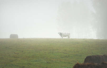 Cow grazing on the green country agricultural field in a thick white morning fog. Idyllic rural scene. Atmospheric autumn landscape. Farm and food industry, domestic animals, nature, environment