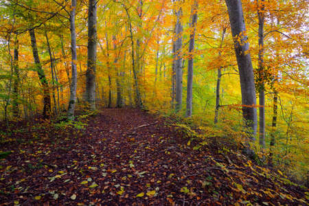 Pathway through the hills of beech tree forest. Mighty tree trunks, yellow, red, orange leaves. Idyllic autumn landscape. Fall season, ecology, nature, environment, ecotourism, recreation. Germany