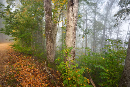 Panoramic view of mysterious forest in a fog at sunrise. Soft sunlight, sunbeams. Old trees, colorful leaves, moss, fern, plants close-up. Sigulda, Latvia. Ecology, seasons, environment, eco tourism