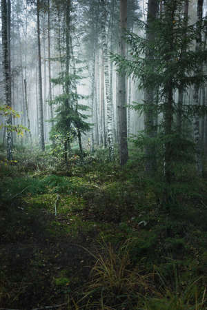 Dark atmospheric landscape of the evergreen forest in a fog at sunrise. Pine, fir, birch trees, green and golden plants close-up. Ecology, autumn, ecotourism, environmental conservation. Europe