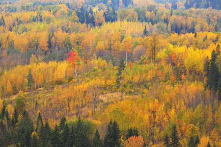 Picturesque panoramic aerial view of the colorful autumn forest. Golden, red, orange, yellow, green leaves. Spruce, pine, birch, maple trees. Nature, seasons, fall, ecology, environment, tourism