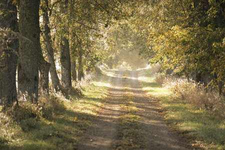Single lane rural road (alley) through the linden trees at sunrise. Golden sunlight, sunbeams, fog, shadows. Fairy autumn forest scene. Art, hope, heaven, wilderness, loneliness, pure nature, ecology