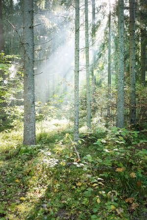 Panoramic view of mysterious evergreen forest in a fog at sunrise. Pure sunlight, sunbeams. Old pine and fir trees close-up. Sigulda, Latvia. Ecology, seasons, environmental conservation, eco tourism