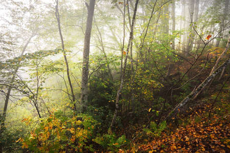 Atmospheric landscape of the forest hills in a fog at sunrise. Golden light, sunbeams. Green trees, colorful leaves, moss, fern, plants close-up. Sigulda, Latvia. Ecology, seasons, autumn, eco tourism 스톡 콘텐츠