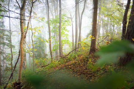 Atmospheric landscape of the forest hills in a fog at sunrise. Soft light, sunbeams. Green trees, colorful leaves, moss, fern, plants close-up. Sigulda, Latvia. Ecology, seasons, autumn, eco tourism 스톡 콘텐츠