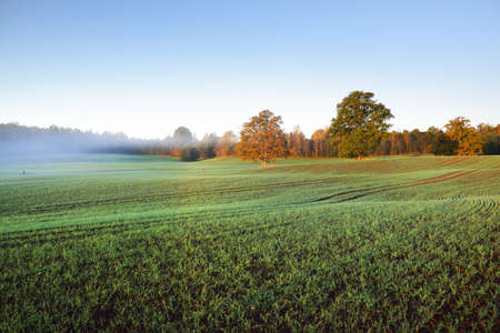 Green plowed agricultural field with tractor tracks and colorful forest at sunrise, close-up. Golden sunlight, fog, haze. Picturesque autumn landscape. Idyllic rural scene. Pure nature, ecology