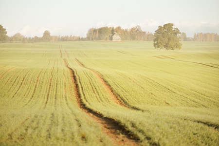 Mighty oak tree with green and golden leaves on the plowed agricultural field with tractor tracks at sunrise, close-up. Picturesque autumn scenery. Pure nature, ecology, trees, farm, lumber industry