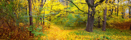Pathway (rural road, alley) in the forest. Deciduous trees with colorful yellow, orange, golden leaves. Sunlight through the branches. Autumn, seasons, environment, nature, landscape. Panoramic view