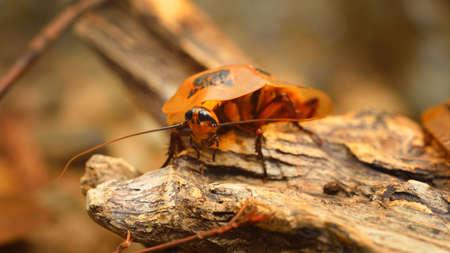 giant cockroach Blaberus giganteus in terrarium Reklamní fotografie