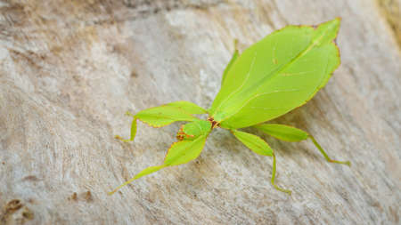 Green leaflike stick-insect Phyllium giganteum on a tree trunk in natural environment