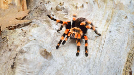 Birdeater tarantula spider Brachypelma smithi in natural forest environment. Bright orange colorful giant arachnid. Stockfoto