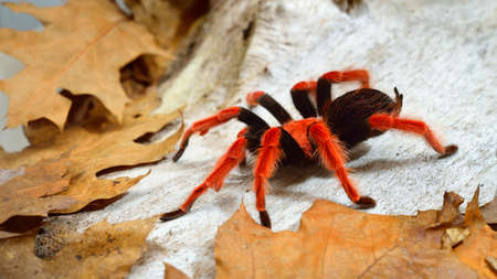 Birdeater tarantula spider Brachypelma boehmei in natural forest environment. Bright red colorful giant arachnid.