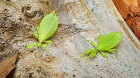 Two green leaflike stick-insects Phyllium giganteum interacting on a tree trunk in natural environment