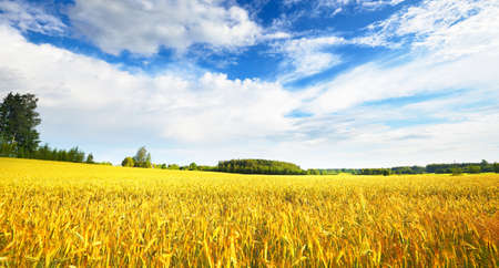 Beautiful ripe wheat agricultural field in the countryside with a distant farmhouse on a summer day. Dramatic sky. Panoramic view. Nature, ecology, environmental conservation, seasons Imagens