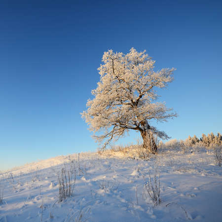 Lonely mighty oak tree on the snow-covered hill at sunset. Clear blue sky. Winter wonderland. Seasons, nature, environment, ecology, climate change. Copy space, graphic resources