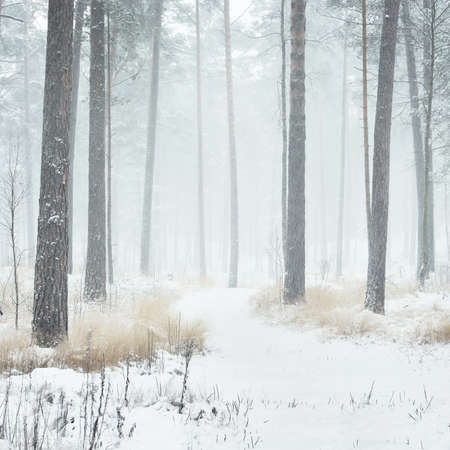 A pathway through the snow-covered pine tree forest in a blizzard. Mighty evergreen trees close-up. Atmospheric landscape. Idyllic rural scene. Winter wonderland. Pure nature, climate change, seasons