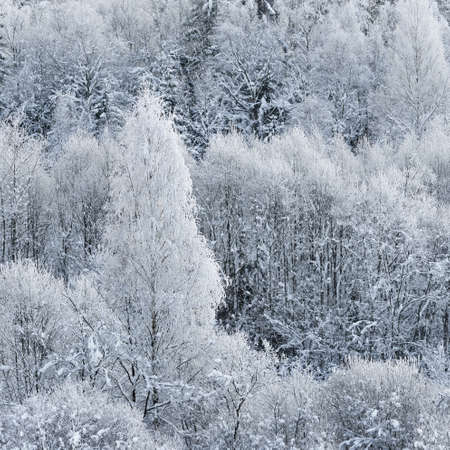 Panoramic aerial view of snow-covered forest hills on a clear day. Morning fog. Birch trees in a hoarfrost. Natural pattern. Winter wonderland. Seasons, ecology, global warming, ecotourism, christmas