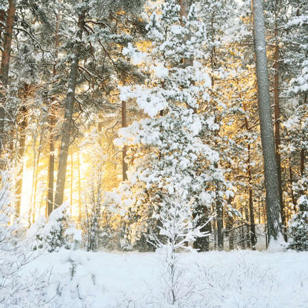 Atmospheric landscape of snow-covered evergreen forest at sunset. Pure sunlight. Mighty pine, fir, spruce trees. Winter wonderland. Seasons, ecology, global warming, ecotourism, christmas vacations Фото со стока