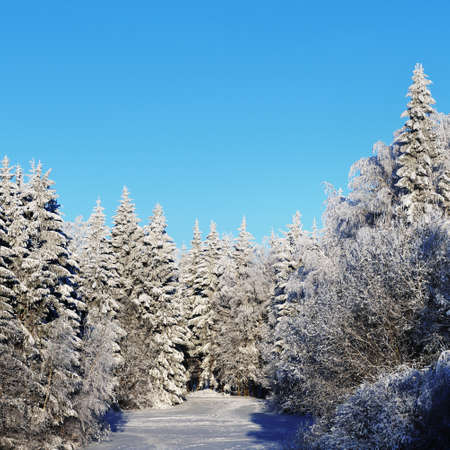 Snow-covered evergreen forest against clear blue sky. Pure sunlight. Mighty pine, fir, spruce trees. Winter wonderland. Seasons, ecology, global warming, ecotourism, christmas vacations. Copy space