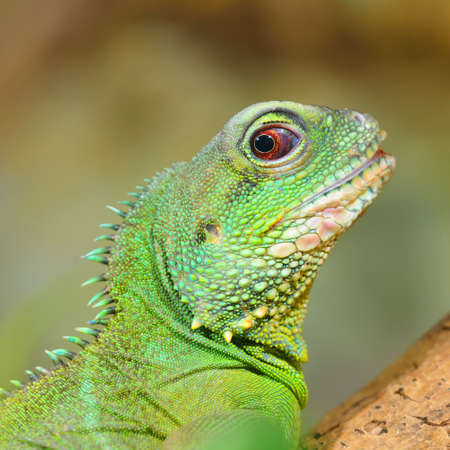 Asian water dragon (Physignathus cocincinus) in natural environment. Colorful tropical green lizard, close-up. Biology, zoology, graphic resource, science, education, wildlife, zoo laboratory Фото со стока