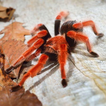 Birdeater tarantula spider Brachypelma boehmei in natural forest environment. Bright red colorful giant arachnid. Wildlife, biology, zoology, arachnology, science, education, zoo laboratory