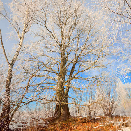 Low angle view of mighty dry tree on a clear day. Branches in a hoarfrost. Blue sky. Winter wonderland. Idyllic landscape. Seasons, nature, ecology, environment, climate change, ecotourism. Russia