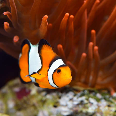 Amphiprion ocellaris clownfish in marine aquarium. Orange corals in the background. Colorful texture, wallpaper, panoramic underwater view. Concept art, graphic resources, macro photography, wildlife Фото со стока